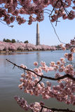 Cherry Blossoms Potomac River Washington DC Stock Photography