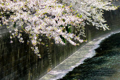 Cherry blossoms pouring into Meguro River,Meguro-ku,Tokyo,Japan in spring. Meguro River is located in Meguro-ku of Tokyo,Japan. 800 cherry trees line Meguro Royalty Free Stock Image