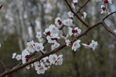 Cherry blossoms pt.2. Beautiful and vivid cherry blossom Royalty Free Stock Images