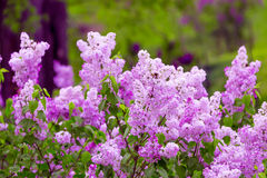 Cherry Blossoms. Purple flower branches of lilac plant Stock Photo
