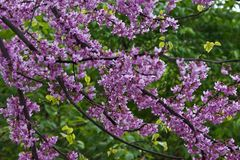 Cherry blossoms in rain, East Lansing, Michigan, USA Stock Photos