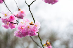 Cherry blossoms in rainy day Stock Image