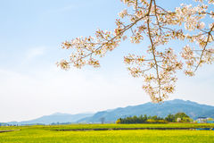 Cherry blossoms with rape flowers at spring. In Korea Royalty Free Stock Images