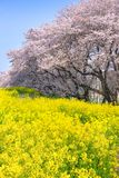 Cherry blossoms and Rapeseed blooms at Kumagaya Arakawa Ryokuchi Park. Cherry blossoms and Rapeseed blooms at Kumagaya Arakawa Ryokuchi Park in Saitama,Japan stock images