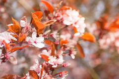 Cherry Blossoms and Red Leaves Stock Images
