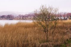 Cherry blossoms and reeds Royalty Free Stock Images