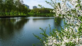 Cherry blossoms by the river in the city park. stock images