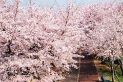 Cherry blossoms road in Samrak Park, Busan, Korea stock photography