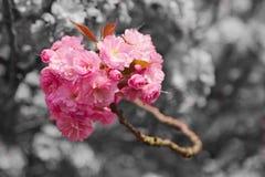 Cherry Blossoms rosa Fotografie Stock Libere da Diritti