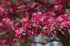 Cherry Blossoms rosa Immagine Stock