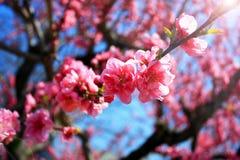 Cherry Blossoms rosa Fotografia Stock