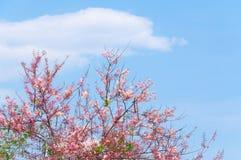 Cherry Blossoms rosa färg blommar på blå himmel Arkivbilder