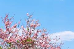 Cherry Blossoms rosa färg blommar på blå himmel Royaltyfri Fotografi