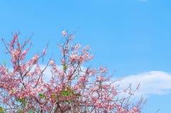 Cherry Blossoms rosa färg blommar på blå himmel Royaltyfria Bilder