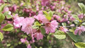 Cherry Blossoms rosa stock footage