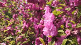 Cherry Blossoms rosa video d archivio