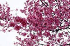 Cherry Blossoms rosa superbo nella primavera immagine stock