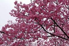 Cherry Blossoms rosa superbo nella primavera fotografia stock