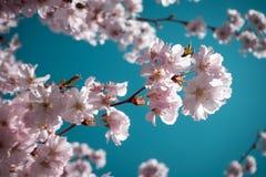 Cherry Blossoms rosado imágenes de archivo libres de regalías