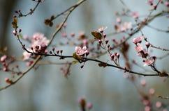 Cherry Blossoms rosado Imagen de archivo