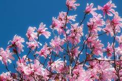 Cherry Blossoms rosado Foto de archivo