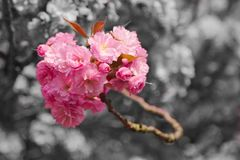 Cherry Blossoms rose photos libres de droits