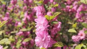 Cherry Blossoms rose banque de vidéos