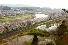 Cherry blossoms in a row. This is a row of cherry blossoms all together by the road Stock Photo