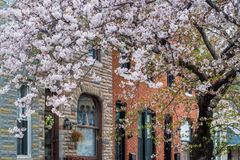 Cherry blossoms and row houses in Patterson Park, Baltimore, Maryland royalty free stock photos