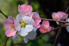 Cherry blossoms sakura. Close-up Stock Image