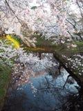 Cherry Blossoms/Sakura Fotografie Stock Libere da Diritti