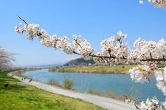 Cherry blossoms Royalty Free Stock Images