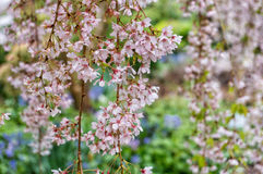 Cherry blossoms or Sakura. Beautiful pink cherry, plum in bloom against green background Stock Images