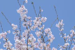 Cherry blossoms (Sakura) blooms in spring Stock Images