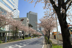 Cherry blossoms at Sakura dori avenue in Yokohama Royalty Free Stock Photography