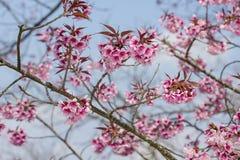 Cherry blossoms or sakura flower in full bloom Stock Images