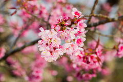 Cherry blossoms or sakura flower in full bloom Royalty Free Stock Photos
