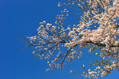 The cherry blossoms sakura flower during spring time in Japan. Royalty Free Stock Photos