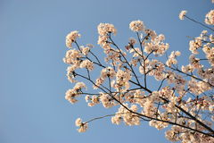 The cherry blossoms sakura flower during spring time in Japan. Stock Images