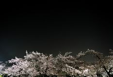 Cherry blossoms or Sakura in full bloom with the Big Dipper or Charles`s Wain. Tokyo, Japan-March 29, 2018: Cherry blossoms or Sakura in full bloom with the Big stock image