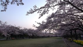Cherry blossoms or Sakura in full bloom with birds tweet at dawn. Tokyo, Japan-April 1, 2018: Cherry blossoms or Sakura in full bloom with birds tweet at dawn stock video