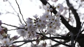 Cherry blossoms or Sakura in full bloom with birds tweet. Tokyo, Japan-March 25, 2018: Cherry blossoms or Sakura in full bloom with birds tweet in the early stock video footage