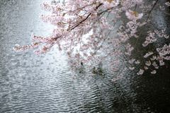 Cherry blossoms, sakura in Japanese, and rippling waters in Japan. Cherry blossoms, or sakura in Japanese, bloom above rippling waters of a moat at Hirosaki royalty free stock photo