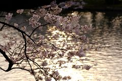 Cherry blossoms, sakura in Japanese, and rippling waters in Japan. Cherry blossoms, or sakura in Japanese, bloom above rippling waters of a moat at Hirosaki royalty free stock images