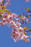 Cherry blossoms or sakura japanese. Sakura or cherry blossoms in Japan, a very popular flower and symbol of Japan Stock Image