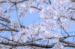Cherry blossoms (Sakura) in Kumamoto Royalty Free Stock Photography