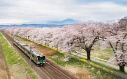 Cherry blossoms or Sakura and local train Royalty Free Stock Images