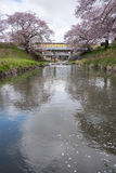 Cherry blossoms or Sakura at the river Royalty Free Stock Photos
