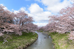 Cherry blossoms or Sakura at the river with blue sky Royalty Free Stock Image