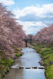 Cherry blossoms or Sakura at the river Stock Images